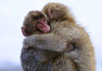 Dos macacos abrazos - foto de stock