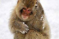 Macaco, olhando para a câmera — Fotografia de Stock