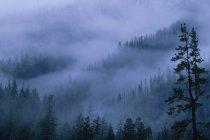 Pinien in der Abenddämmerung mit Nebel bedeckt. — Stockfoto
