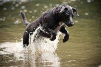 Cachorro pulando na água — Fotografia de Stock