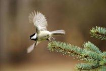 Uccello bianco Sitta Breasted volando via ramo di albero — Foto stock