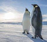 Dois pinguins imperador na paisagem de neve na luz solar — Fotografia de Stock
