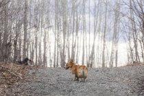 Perro corgi Galés en camino con árboles - foto de stock