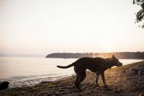 Dog shaking off water on beach at sunset — Stock Photo