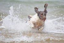 Английский спрингер-спаниель собаки, проходящей через серфинг воды — стоковое фото