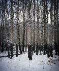 Alberi dell'Aspen in neve coperto foresta — Foto stock
