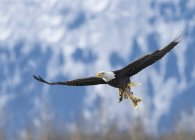 Bald Eagle in flight with caught Salmon in claws — Stock Photo