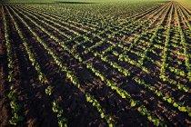 Plantas jovens no campo de fazenda salto — Fotografia de Stock