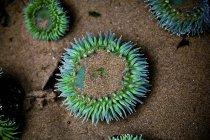 Sea anemone plants, underwater view — Stock Photo