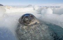 Sello de Weddell fuera de respiración agujero en el hielo - foto de stock