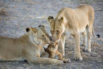 Two lionesses and cute lion cub — Stock Photo