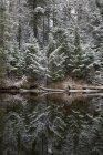 Snowcapped сосновими деревами, що відображають в річковій воді — стокове фото