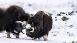 Две боевые действия мускусного быка в снежный пейзаж — стоковое фото