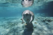 Manatee swiming under azure water with fishes — Stock Photo