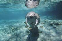 Ламантин плавання під блакитні води з риби — стокове фото