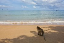 Monkey standing on sun lighted sandy beach — Stock Photo