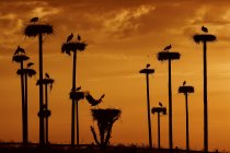 White storks nests silhoettes on cloudy sunset sky — Stock Photo