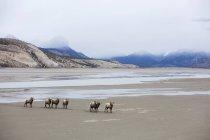 Товсторіг стікаються в Національний парк Джаспер, Альберта — стокове фото