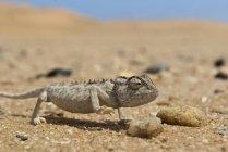 Caméléon sur le sable au désert dune, bouchent shot — Photo de stock