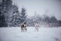 Chiens husky sibérien en cours d'exécution sur la prairie de l'hiver — Photo de stock
