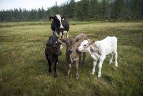 Adult cow with calves on green meadow — Stock Photo