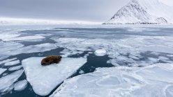 Tricheco che si trova sul pezzo di ghiaccio nel mare artico — Foto stock