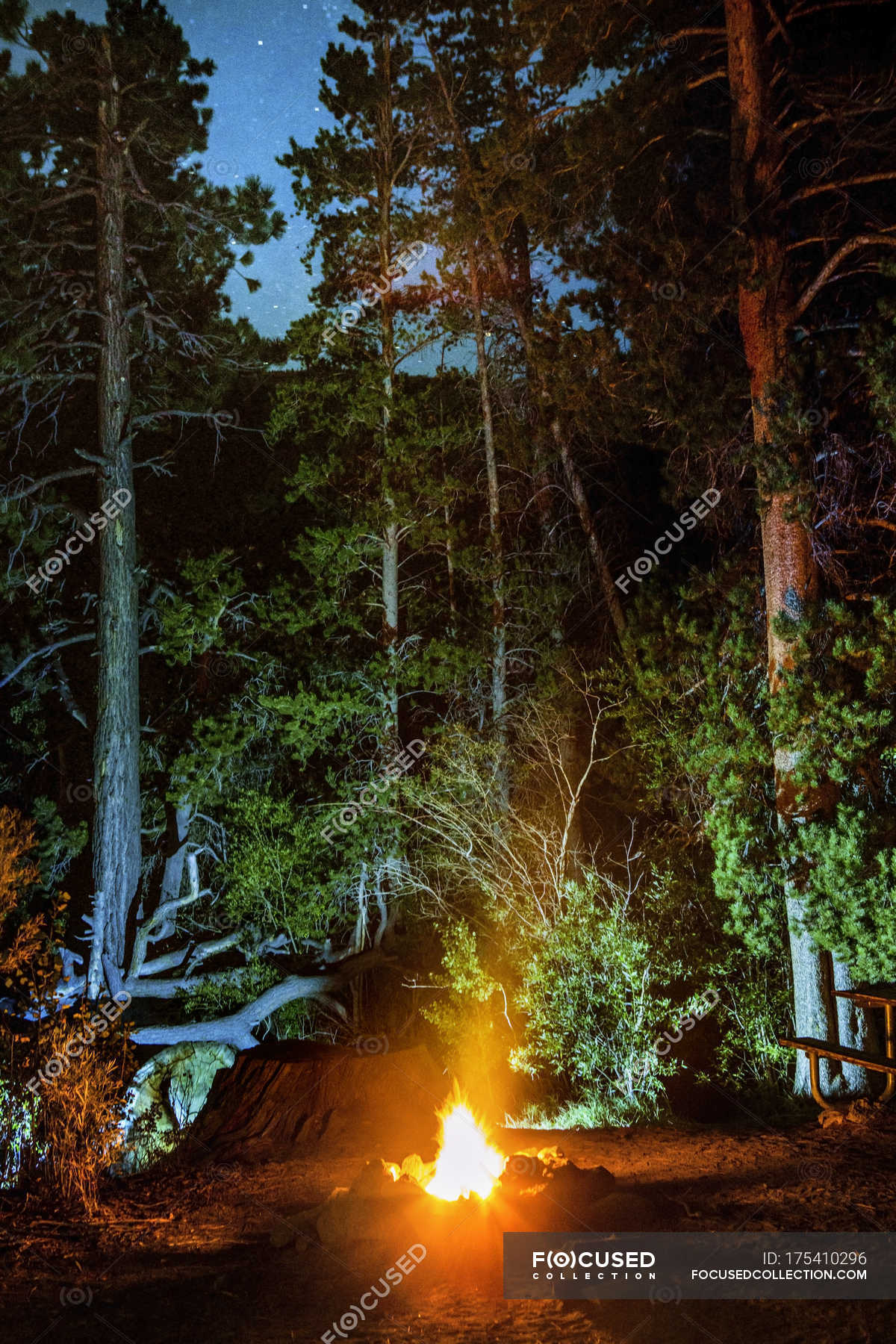 campfire lighting tall trees at night stock photo 175410296