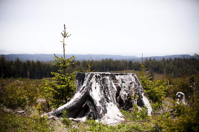 Старый пень с зеленым лесом на фоне — стоковое фото