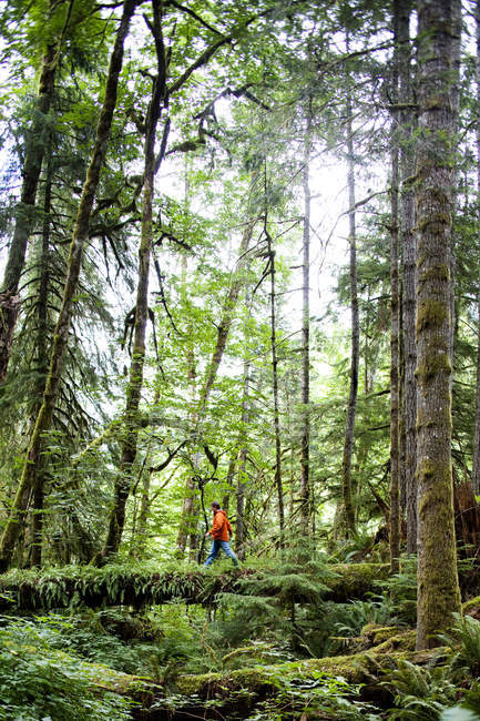 Man crossing log in thick green forest of Olympic National Park — Stock Photo