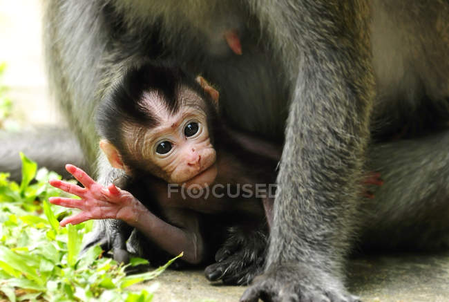 Macaque waving at camera — Stock Photo