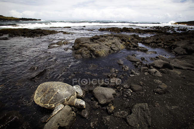 Sea turtle comes on shore at Black Sand Beach — Stock Photo