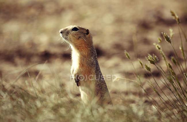 Ground Squirrel standing on prairie ground — Stock Photo