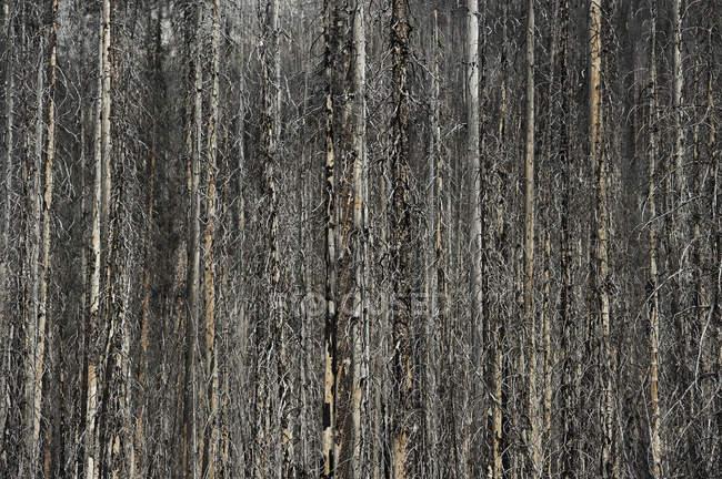 Згорів стовбури в (літо) — стокове фото