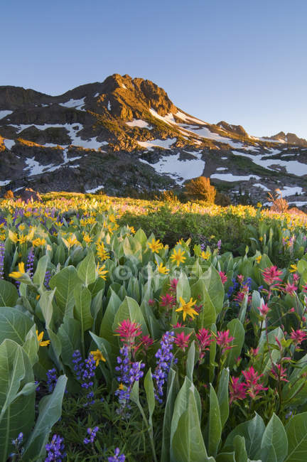 Wildflowers field with mountain — Stock Photo