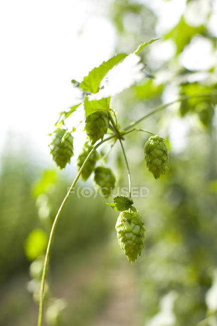 Growing green hops, close up shot — Stock Photo