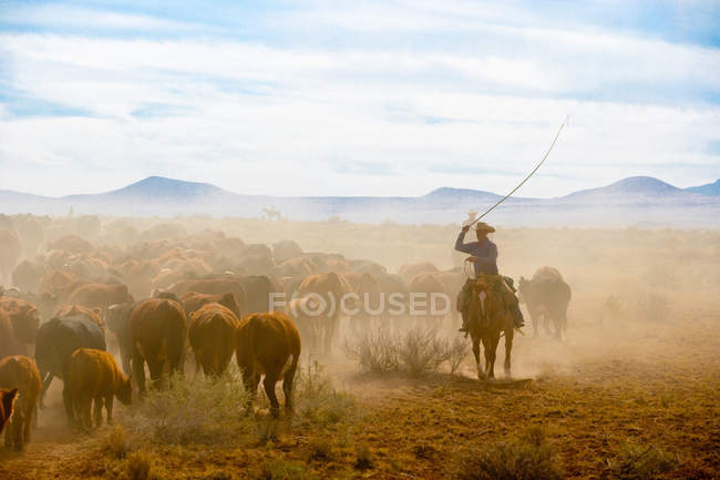 Team of cattle wrestlers moving herd of cows down dusty Arizona desert trail — Stock Photo