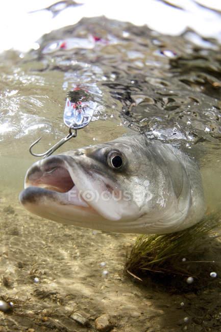 Peces capturados en el gancho - foto de stock