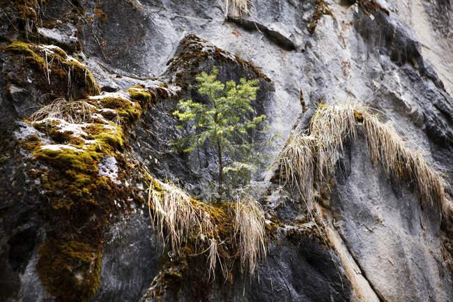 Kleiner Baum wächst auf Felsvorsprung — Stockfoto