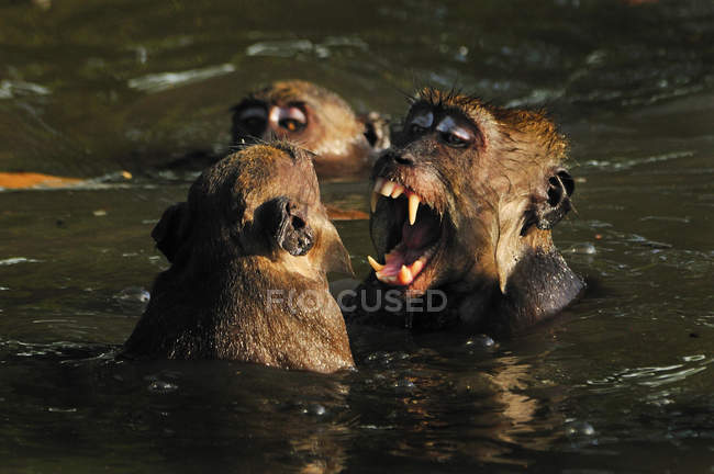 Two long-tailed macaques fighting in water, selective focus — Stock Photo