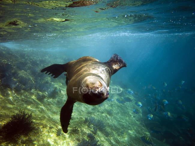 Selo brincalhão flutuando debaixo d'água — Fotografia de Stock