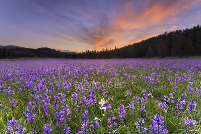 Wildflowers field with sunset sky — Stock Photo