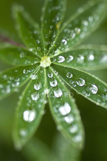 Люпин лист з крапель води — стокове фото