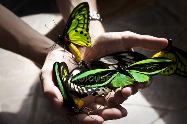 Cropped view of male hands holding huge butterflies in Bali, Indonesia — Stock Photo
