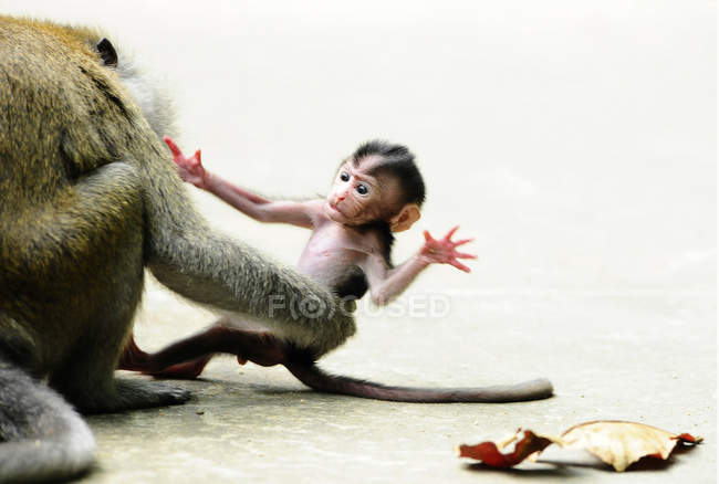 Lange tailed Macaque greifen Äffchen — Stockfoto