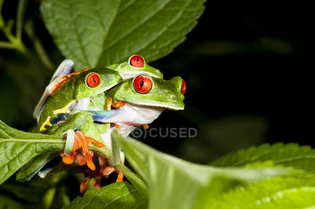 Red eyed tree frogs on lush green foliage — Stock Photo