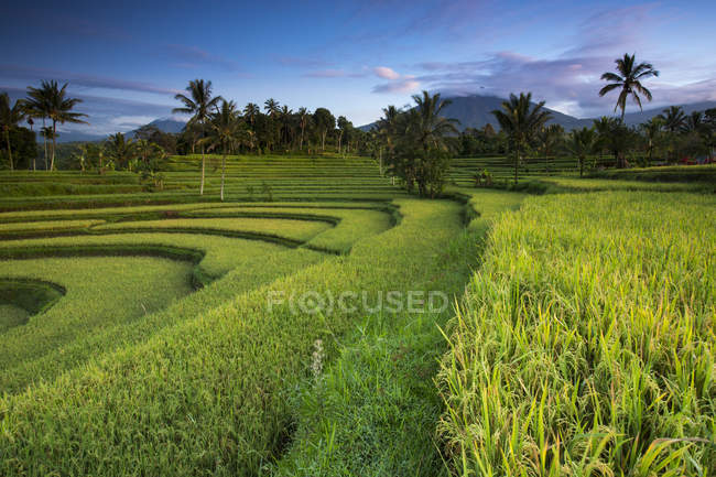 Lush green rice fields and palm trees — Stock Photo