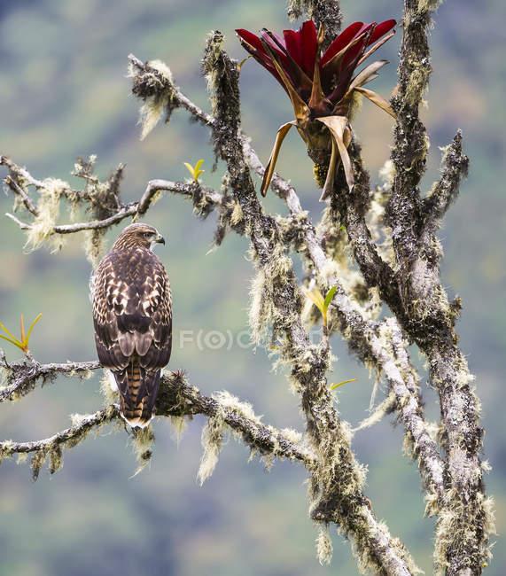 Красный хвост ястреб усаживаться на дерево — стоковое фото