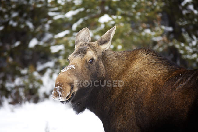 Female moose with snow on nose, close up shot — Stock Photo