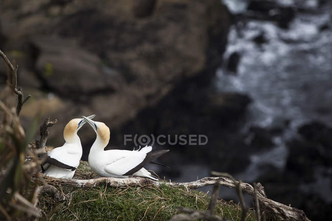 Aves do ganso-dois patola tocando os bicos no comportamento de acasalamento — Fotografia de Stock