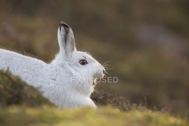 Белая гора заяц лежа на зеленой траве и зевая — стоковое фото